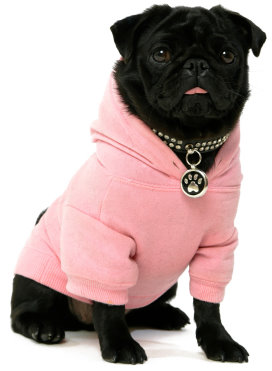 Black pug in hoodie on a white background
